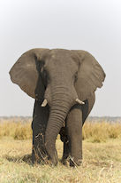 Close-up of an elephant in the steppe